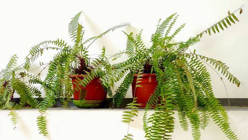 Φτέρη: Το Φυτό με τα Φυσικά Φίλτρα είναι της Μόδας
